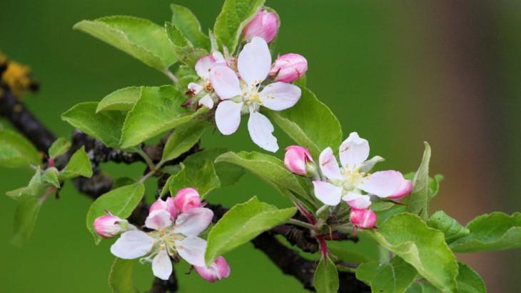 Apfelblust_gy